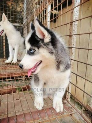 1-3 Month Female Purebred Siberian Husky | Dogs & Puppies for sale in Abuja (FCT) State, Asokoro