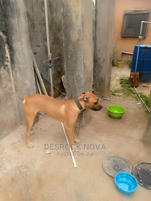 3-6 Month Male Purebred Boerboel   Dogs & Puppies for sale in Lagos State, Alimosho