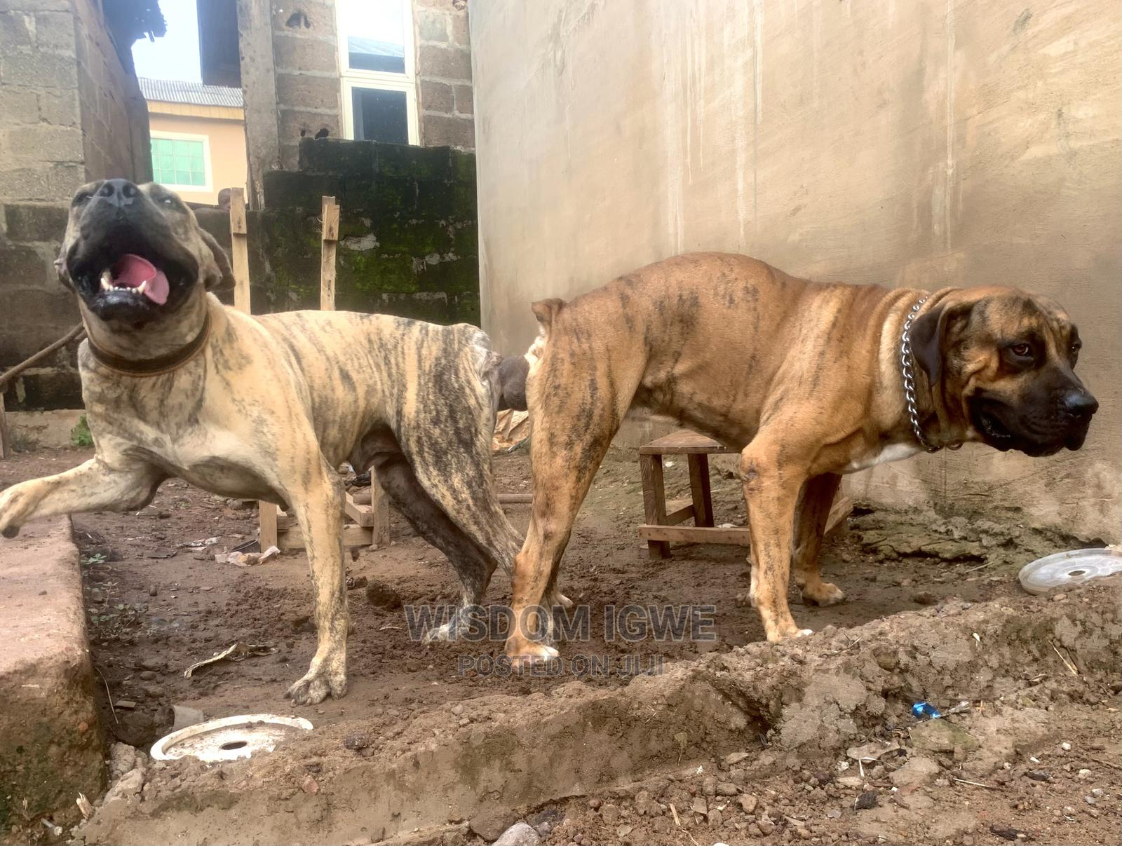 1+ Year Male Purebred Boerboel   Dogs & Puppies for sale in Ogba, Lagos State, Nigeria