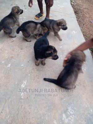 1-3 Month Female Purebred German Shepherd | Dogs & Puppies for sale in Oyo State, Oluyole