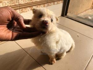 1-3 Month Male Purebred Samoyed   Dogs & Puppies for sale in Osun State, Osogbo