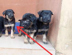 1-3 Month Female Purebred Rottweiler   Dogs & Puppies for sale in Ondo State, Akure