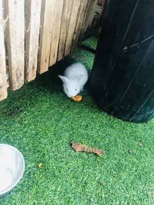 Baby Rabbit   Other Animals for sale in Lagos State, Ikeja
