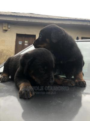 1-3 Month Male Purebred Rottweiler   Dogs & Puppies for sale in Lagos State, Ipaja
