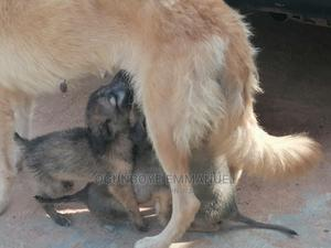 0-1 Month Male Mixed Breed German Shepherd | Dogs & Puppies for sale in Lagos State, Ikorodu