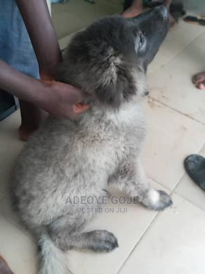 1-3 Month Male Purebred Caucasian Shepherd | Dogs & Puppies for sale in Kwara State, Ilorin South