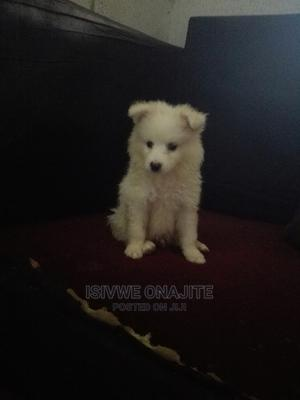 1-3 Month Male Purebred American Eskimo | Dogs & Puppies for sale in Lagos State, Alimosho