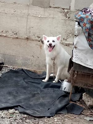 1+ Year Male Purebred American Eskimo | Dogs & Puppies for sale in Lagos State, Surulere