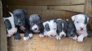 1-3 Month Female Purebred American Pit Bull Terrier   Dogs & Puppies for sale in Ekiti State, Ado Ekiti