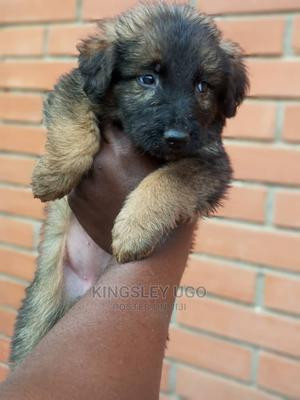 0-1 Month Male Purebred German Shepherd | Dogs & Puppies for sale in Imo State, Owerri