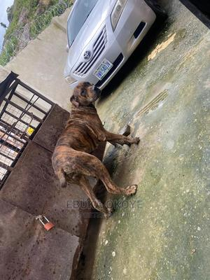 1+ Year Female Purebred Boerboel | Dogs & Puppies for sale in Abuja (FCT) State, Kubwa
