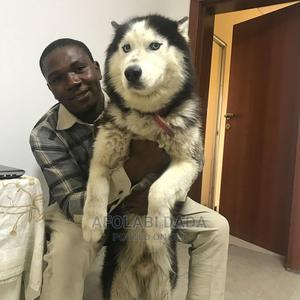 3-6 Month Male Purebred Siberian Husky | Dogs & Puppies for sale in Delta State, Warri