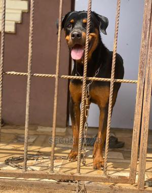 1+ Year Male Purebred Rottweiler   Dogs & Puppies for sale in Ogun State, Ijebu Ode