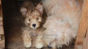 1-3 Month Male Mixed Breed Lhasa Apso | Dogs & Puppies for sale in Abuja (FCT) State, Nyanya