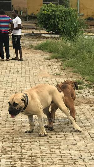 1-3 Month Female Purebred Boerboel | Dogs & Puppies for sale in Ogun State, Abeokuta South