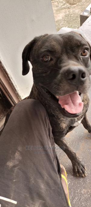 1+ Year Male Purebred Bullmastiff | Dogs & Puppies for sale in Edo State, Benin City