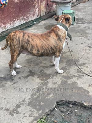 1+ Year Female Purebred American Pit Bull Terrier   Dogs & Puppies for sale in Lagos State, Surulere