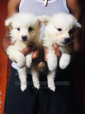 1-3 Month Male Purebred American Eskimo   Dogs & Puppies for sale in Lagos State, Alimosho
