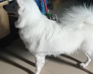 Pure Breed American Male Eskimo | Pet Services for sale in Lagos State, Amuwo-Odofin