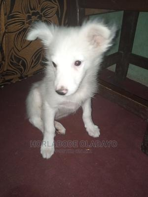 3-6 Month Male Purebred American Eskimo | Dogs & Puppies for sale in Oyo State, Ogbomosho North