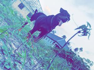1+ Year Female Purebred Rottweiler | Dogs & Puppies for sale in Delta State, Warri