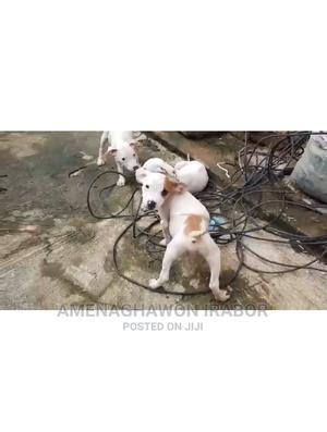 1-3 Month Male Purebred American Pit Bull Terrier   Dogs & Puppies for sale in Edo State, Ikpoba-Okha