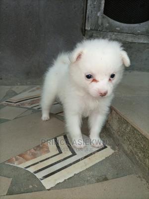 0-1 Month Female Purebred American Eskimo | Dogs & Puppies for sale in Delta State, Warri
