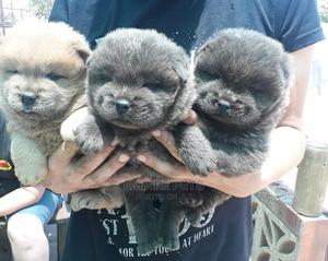 1-3 Month Female Purebred Chow Chow   Dogs & Puppies for sale in Lagos State, Alimosho