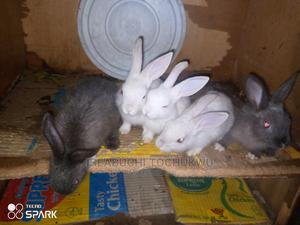 Rabbits for Sale , Affordable   Other Animals for sale in Enugu State, Enugu