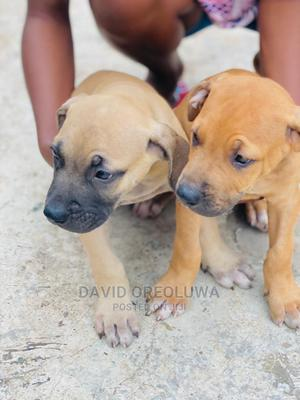 1-3 Month Male Purebred Boerboel | Dogs & Puppies for sale in Osun State, Ife