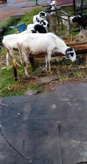Ram for Sale   Other Animals for sale in Kwara State, Ilorin East