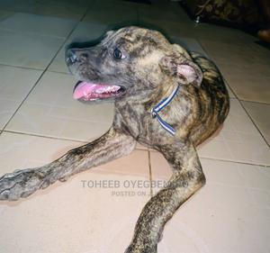 6-12 Month Female Purebred Boerboel | Dogs & Puppies for sale in Lagos State, Ikorodu