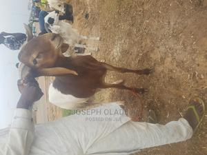 Sallah Ram   Other Animals for sale in Abuja (FCT) State, Gwarinpa