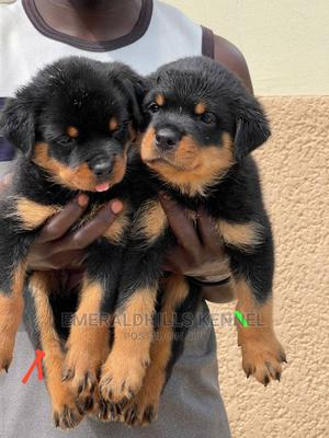 0-1 Month Female Purebred Rottweiler   Dogs & Puppies for sale in Lagos State, Ikeja