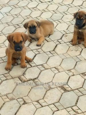 1-3 Month Male Purebred Boerboel   Dogs & Puppies for sale in Ogun State, Ijebu Ode