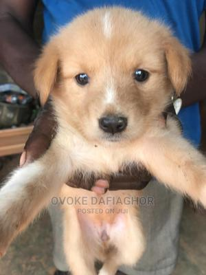 1-3 Month Male Mixed Breed Labrador Retriever | Dogs & Puppies for sale in Lagos State, Ikorodu