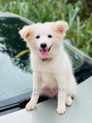 3-6 Month Female Purebred American Eskimo | Dogs & Puppies for sale in Anambra State, Awka