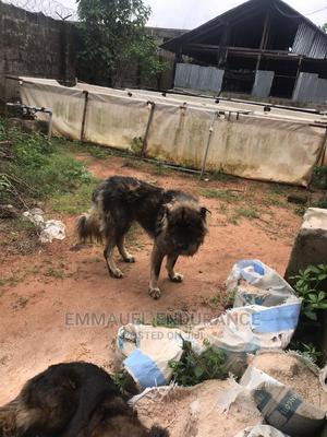 1+ Year Male Purebred Caucasian Shepherd | Dogs & Puppies for sale in Edo State, Benin City
