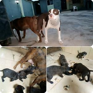 0-1 Month Female Purebred American Pit Bull Terrier | Dogs & Puppies for sale in Lagos State, Alimosho