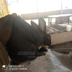 Rabbits for Sale in Different Colors and Breed | Livestock & Poultry for sale in Osun State, Ila