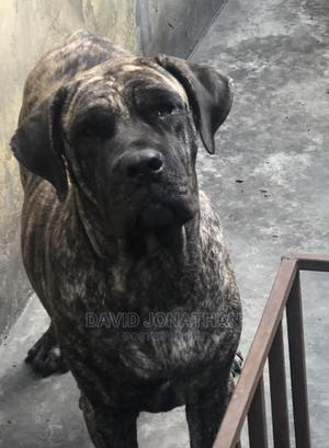 1+ Year Female Purebred Boerboel   Dogs & Puppies for sale in Rivers State, Port-Harcourt