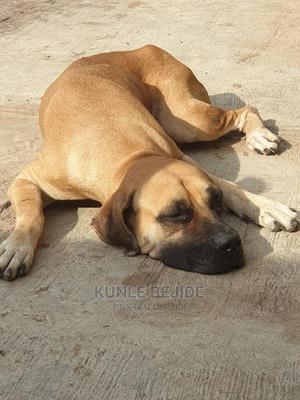 1+ Year Female Purebred Boerboel | Dogs & Puppies for sale in Oyo State, Akinyele