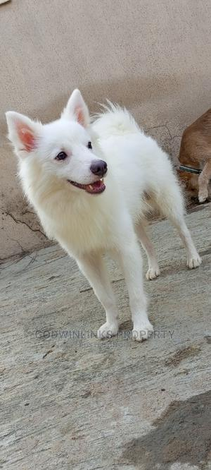 1+ Year Male Purebred American Eskimo | Dogs & Puppies for sale in Kwara State, Ilorin South