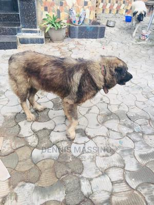 1+ Year Male Purebred Caucasian Shepherd | Dogs & Puppies for sale in Kwara State, Ilorin West