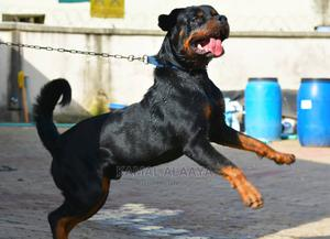 1+ Year Male Purebred Rottweiler   Dogs & Puppies for sale in Lagos State, Alimosho