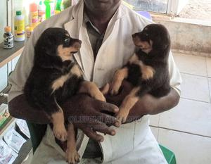 1-3 Month Male Purebred Rottweiler   Dogs & Puppies for sale in Ogun State, Ado-Odo/Ota