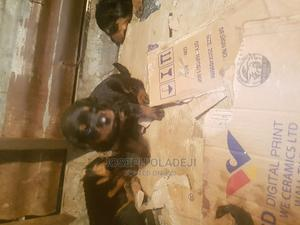 1-3 Month Male Purebred Rottweiler   Dogs & Puppies for sale in Abuja (FCT) State, Jahi
