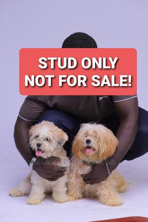 1+ Year Male Purebred Lhasa Apso | Dogs & Puppies for sale in Lagos State, Kosofe