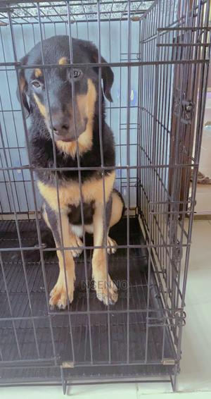3-6 Month Female Mixed Breed Rottweiler | Dogs & Puppies for sale in Akwa Ibom State, Uyo