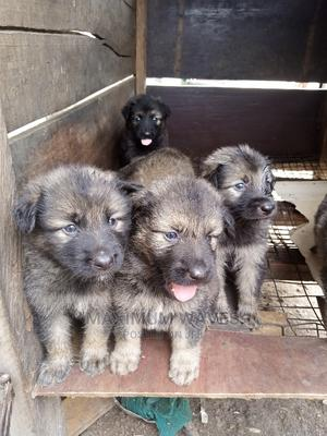 0-1 Month Female Mixed Breed Caucasian Shepherd | Dogs & Puppies for sale in Lagos State, Gbagada